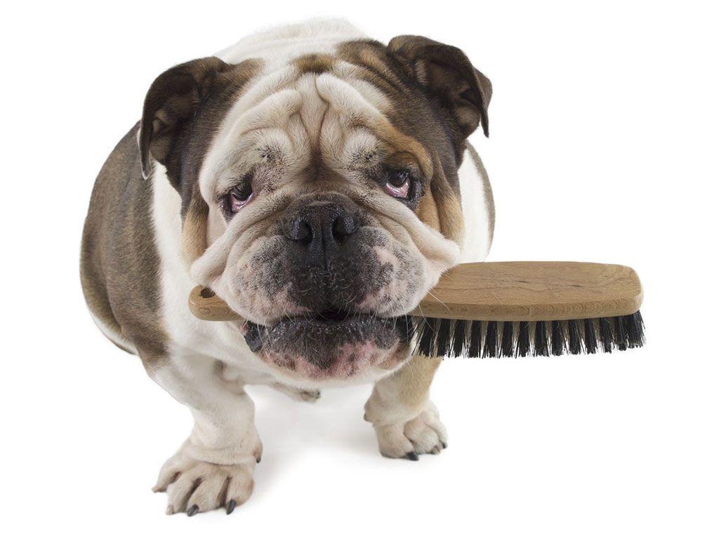 Bulldog con cepillo