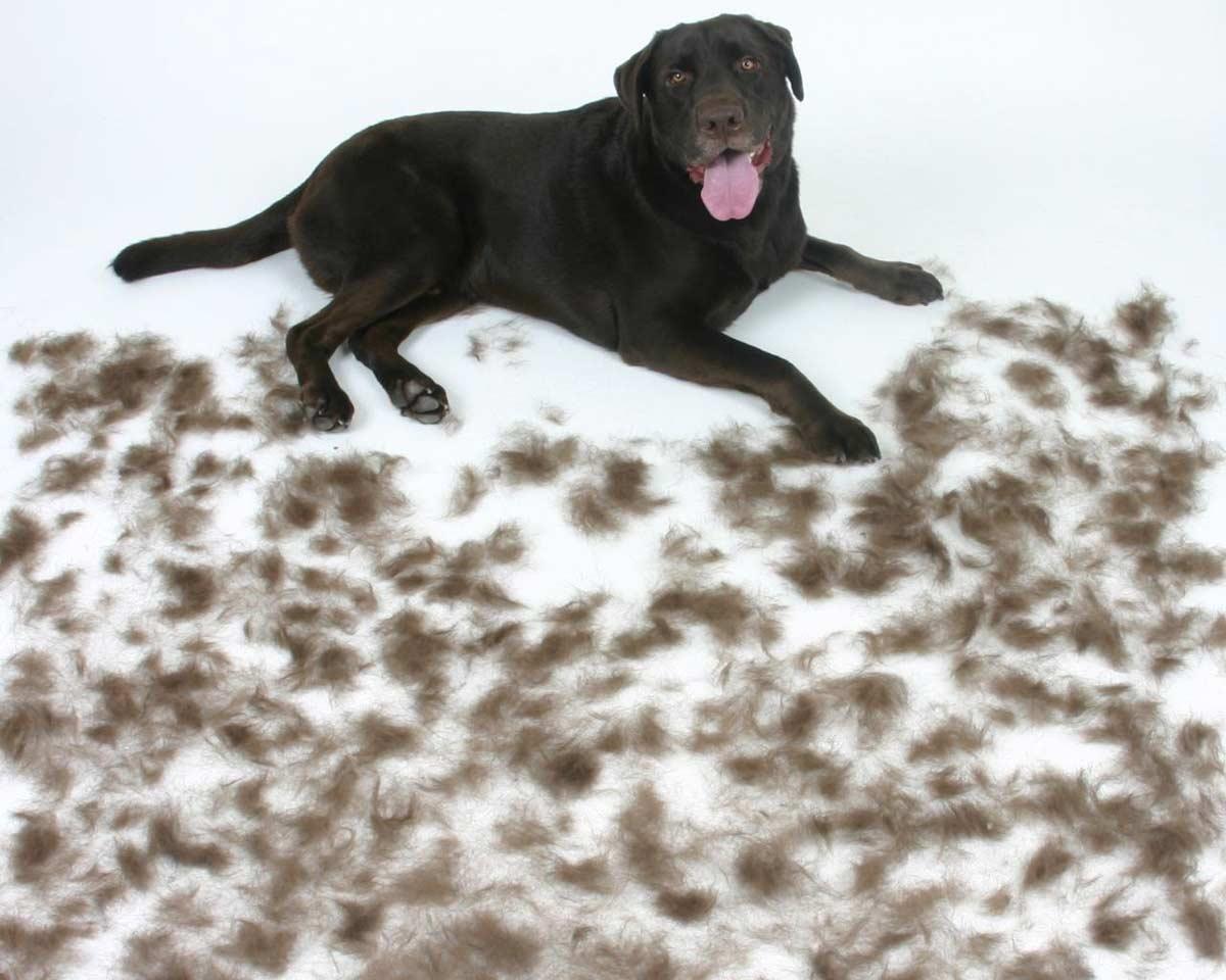 Perro con pelo por el suelo