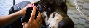 [Vídeo] Lavado y secado de Duque, un Dogo que es un bonachón