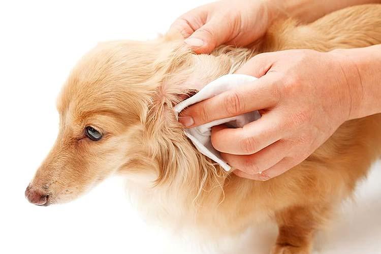 Limpieza oídos perro